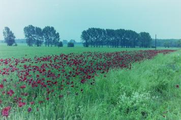 Mohnfeld im Oderbruch